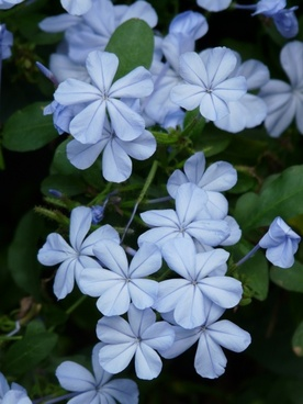 flowers cape europaea flower