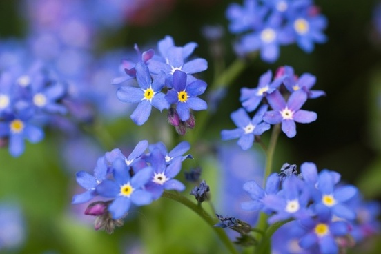 flowers forget me not blue