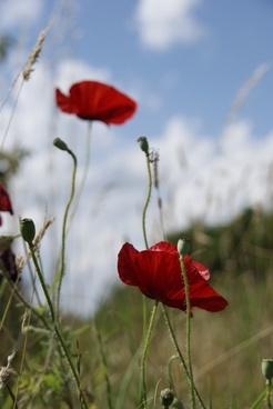 flowers nature poppy