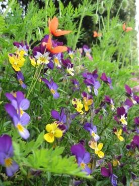 flowers pansies garden