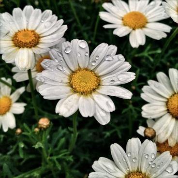 flowers plant daisy