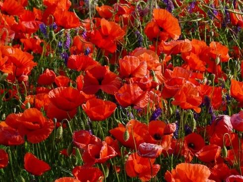 flowers poppy red flower