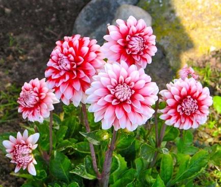 flowers red flower garden
