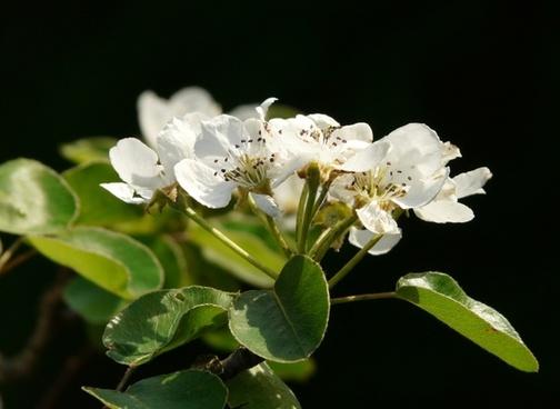 flowers white pear