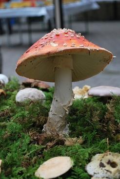 fly agaric mushroom luck