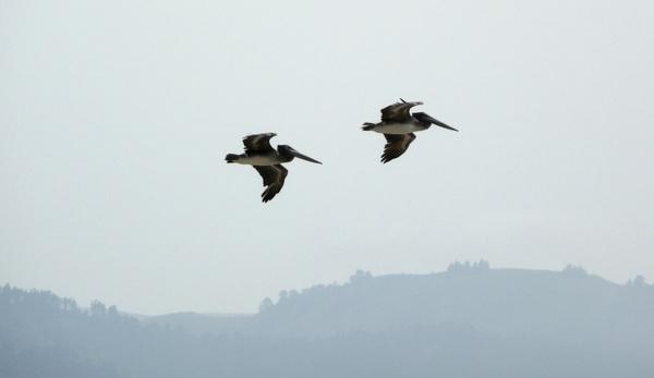 flying pelicans birds