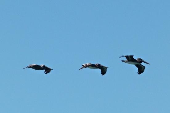 flying pelicans birds water