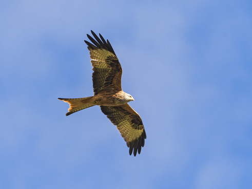 flying red kite