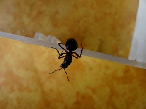 forest ant queen ant queen wood ant