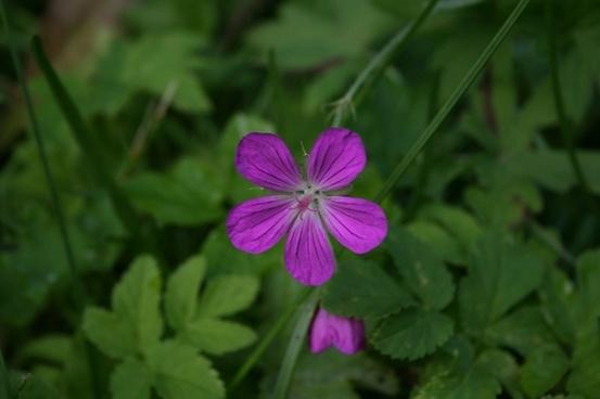 forest geranium