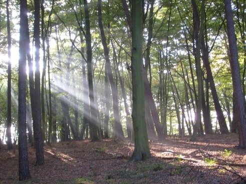 forest trees sunbeam