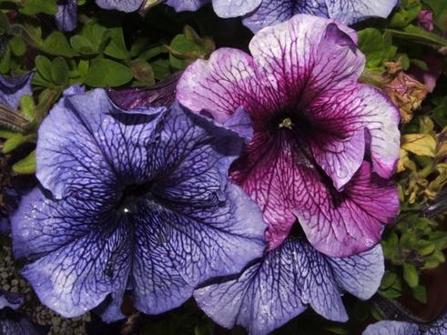 forget me flower blue flower
