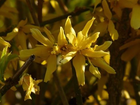 forsythia gold lilac golden bells