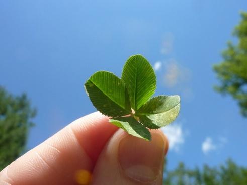 fourleaf clover
