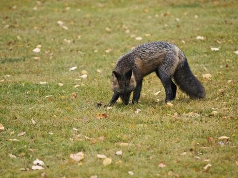 fox animal mammal