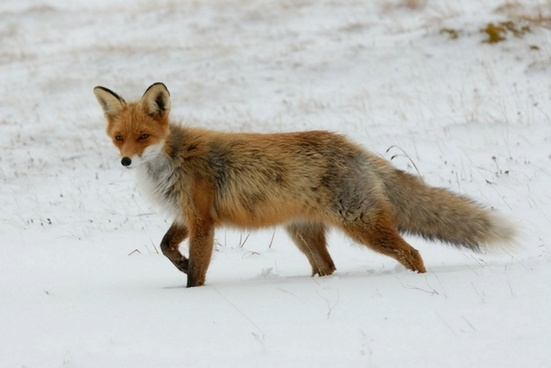 fox red animal
