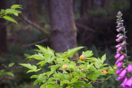 foxglove amp salmon berry
