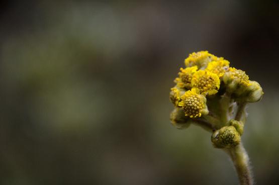 frailejon flower