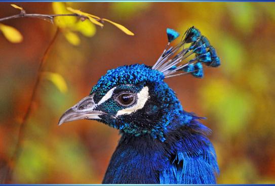 framed peacock portrait