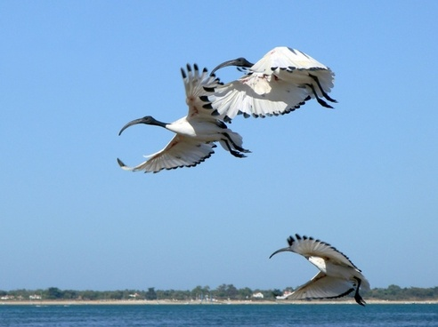 france ibis flying