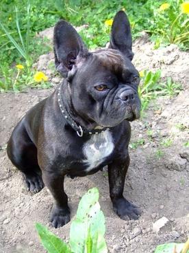 french bulldog dog doggy