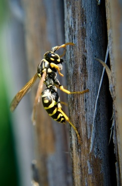 french wasps insects wasp