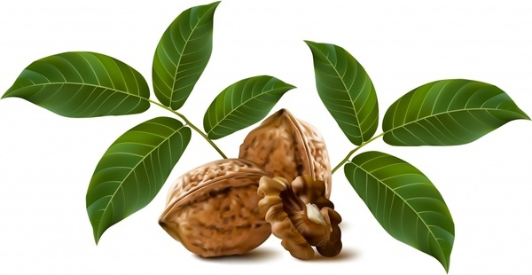 fresh walnut vector
