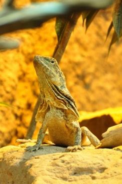 frill necked lizard lizard re