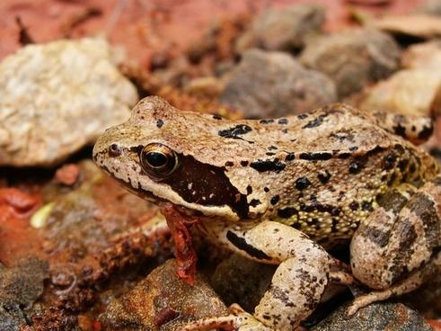 frog animals s brown