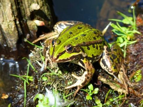 frog pond frog amphibian