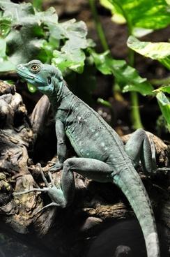 frontal lobe basilisk basilisk lizard