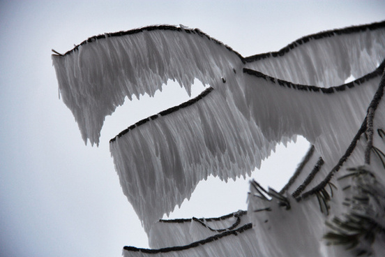 frost ribbon