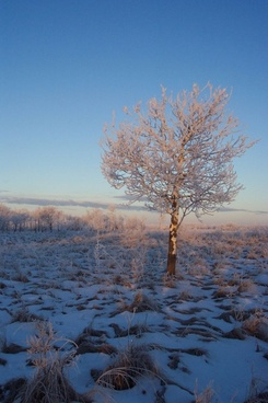 frosty landscape tree