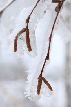 frozen birch plant