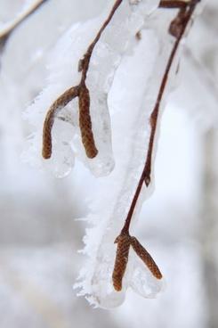 frozen birch plant