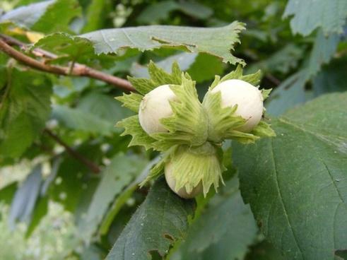 fruits hazelnuts peanuts