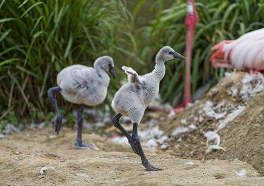 funny flamingo babies