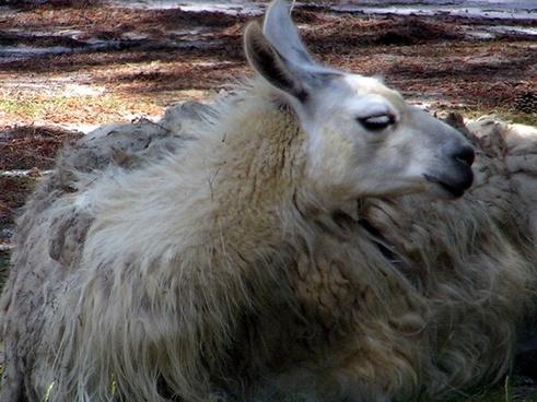 furry white llama