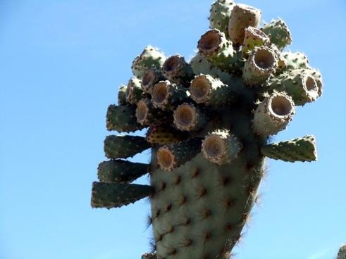 galapagos cactus