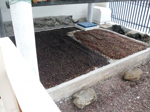 galapagos coffee harvest
