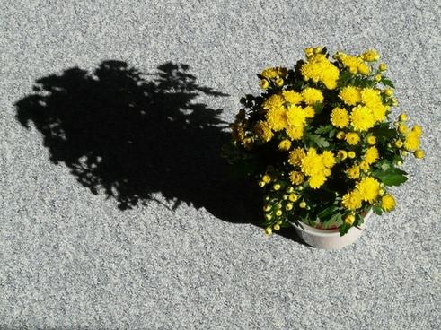 garden chrysanthemum chrysanthemum grandifloraum dendranthema grandiflorum