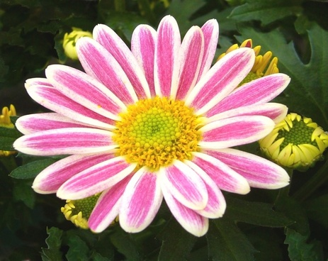 garden chrysanthemum pot plant pink