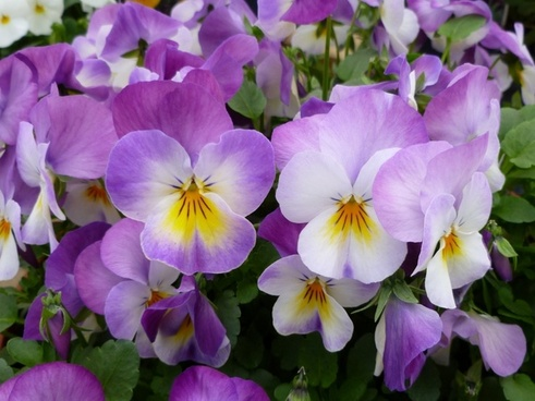 garden pansy pansies flower