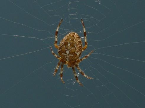 garden spider spider araneus diadematus