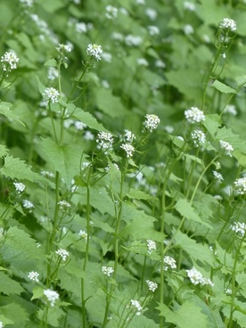 garlic mustard flower white