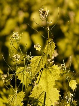 garlic mustard garlic herb knoblauchhederich