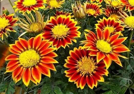 gazanias flowers garden plant