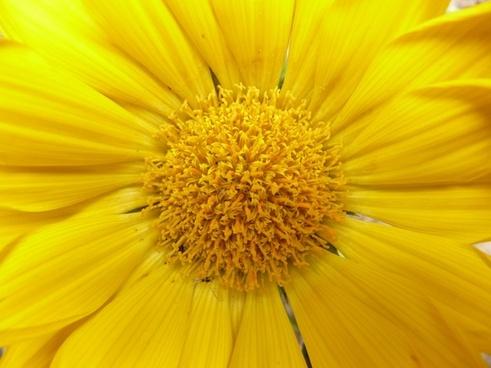 gazanie gold noon noon gold flower
