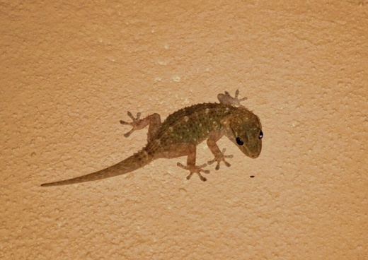 gecko lizard animal