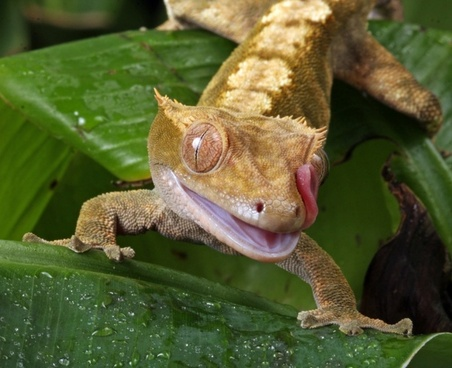 gecko tongue flicking